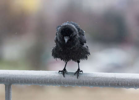 Miserable wet crow clutching frosted balcony rail in the rain Stock Photo - 25324902
