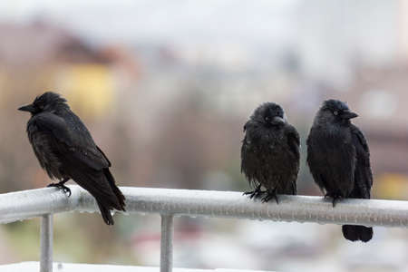 three wet crows sit on balcony rail and look in different directions Stock Photo - 25324909