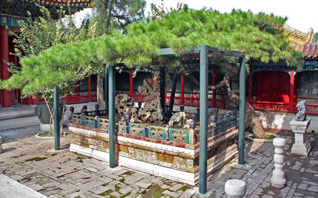 chinese courtyard: Old artitifically formed pine in Forbidden City palace in Beijing  Forbidden city includes a big number of various pavillons and courtyards
