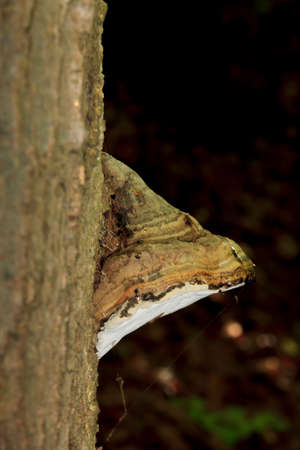 Bracket fungus growing from a tree trunk in dark background Stock Photo - 25657854