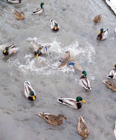 two male dusks go in circles round each other fighting for food, surrounded by other ducks in the river photo