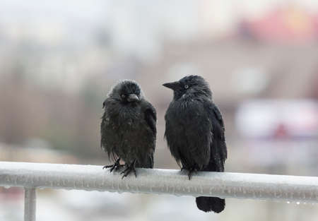 three wet crows sit with drops of rain drippping from their feather sit next to each other on balcony rail and look in different directions photo
