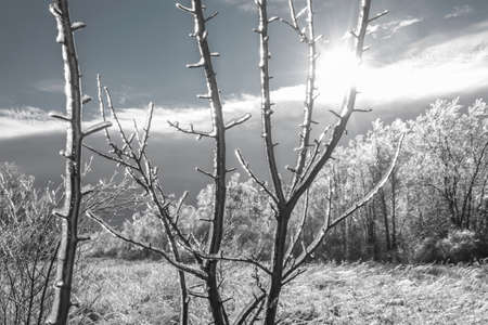 hoary: Black and white winter landscape with sun shining through ice-covered branches in foreground and hoary blurred trees