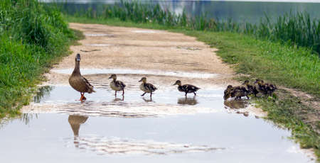 A duck is crossing a path with ducklings following her in a row photo