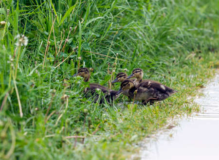 Group of ducklings hides in the tall grass after passing the path photo