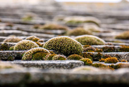 purposely: Close up photo of  bunches of colorful moss on the tiled roof of  old country cottage - only central bunches in focus, the rest of the picture purposely blurred