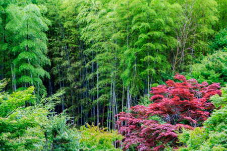 Photo of intensely red acer growing in the midst of green bamboo forest  stylized and filtered to look like an oil painting  Stock Photo - 26589062