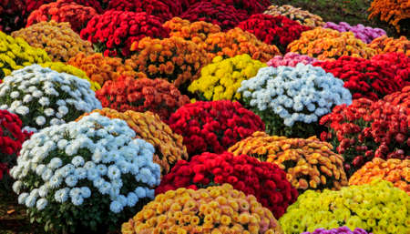 Chrysanthemums of various colors, standing close to each other in pots, stylized and filtered to look like an oil painting  photo