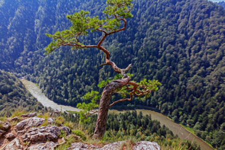 river rock: single pine growing from the rock above a spectacular gorge with a river below in pieniny mountains, poland, stylized and filtered to look like an oil painting