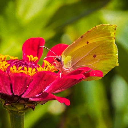 Een macro foto van een gele vlinder voeden op z Zinnia bloem, omgeven door opeenvolgende lagen van roze bloemblaadjes, gefilterd en gestileerd om een olieverfschilderij te lijken