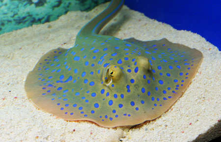 photo of spotted colorful ray in aquarium, stylized and filtered to resemble an oil painting  Stock Photo