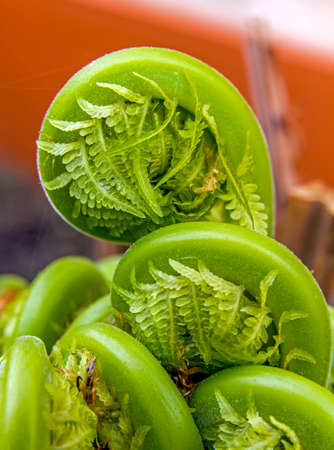 Macro photo of young fern stalks unfolding photo