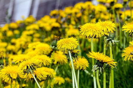 intensely: Close-up photo of intensely yellow dandelion flowers