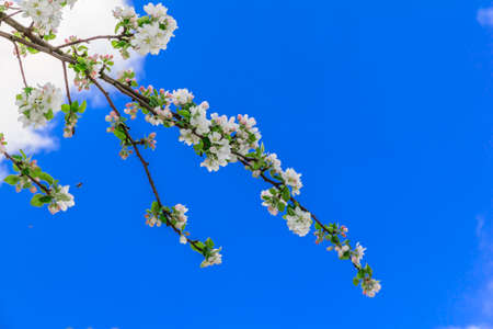 intensely: branches of beautiful white and pink apple flowers against the background of intensely blue sky with white clouds with copy space