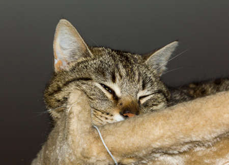suspiciously: Tabby cat squiting its eye suspiciously while resting on the top of a cat tree