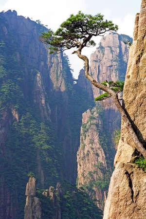 huang: Vertical photo of a single pine growing from the rock of Huangshan  Yellow Mountains  in China
