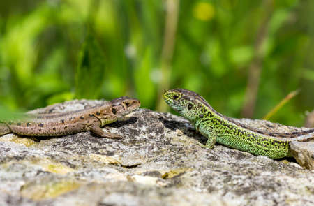 Two lizards one green and one brown facing each other on a stone close up photo