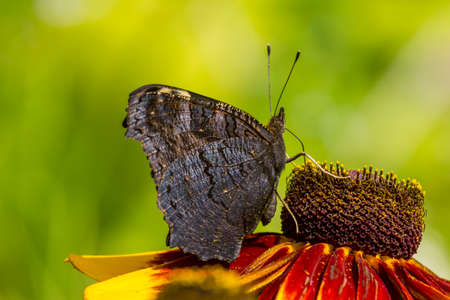 inachis:  macro photo of a dark peacock butterfly, inachis io, drinking nectar from orange rudbeckia flower. Stock Photo