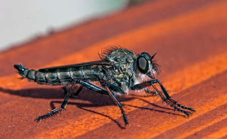 predatory insect: east european robberfly Asilus crabroniformis - insect seen from the side Stock Photo