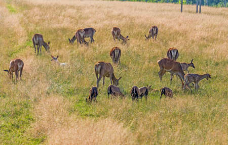 my dear: pastel tone photo of a herd of dear with calves in the yellow grass