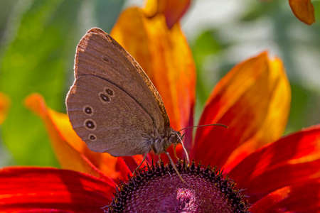 inachis: Maculinea teleius butterfly, inachis io, drinking nectar from orange rudbeckia flower with other brudbeckia flowers and blurred butterflies in background