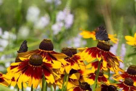 inachis: dark peakock butterflies, inachis io on a field of rudbeckia flowers