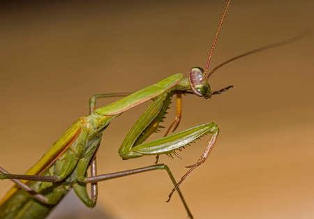 Macro photo of a green  praying mantiscocking its head photo