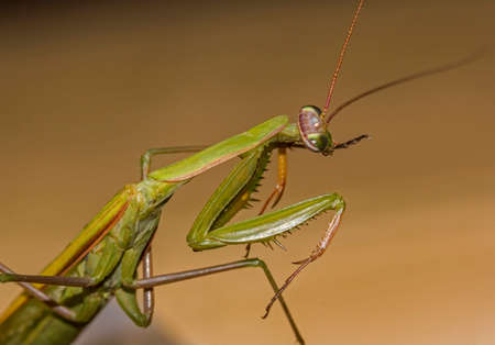 european mantis: Macro photo of a green  praying mantiscocking its head