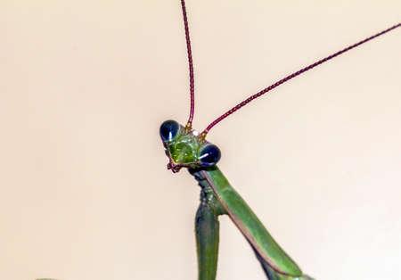 Macro photo of a head of  green  praying mantis looking straight into camera photo