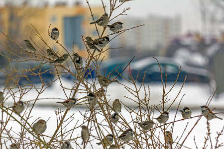 pecks: Group of sparrows sitting on  leafless branches and pecking twigs, winter. Focus on top centre birds.