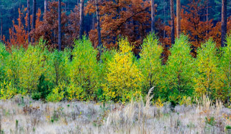 yeloow: Composition presents three horizontal layers of colourful autumn vegetation - a patch of yellow grass, a patch of green young birches and a patch of higher trees with red autumn foliage,  stylized and filtered to resemble an oil painting.