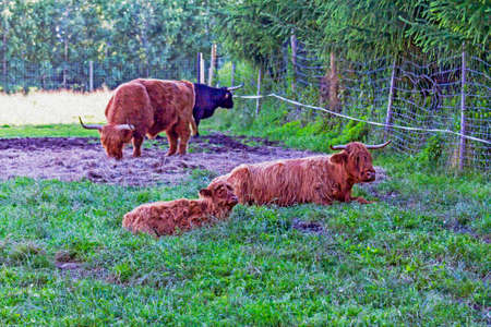 highland: Small scottish highland cow calf resting on grass with her mother with other cows in background,  stylized and filtered to resemble an oil painting