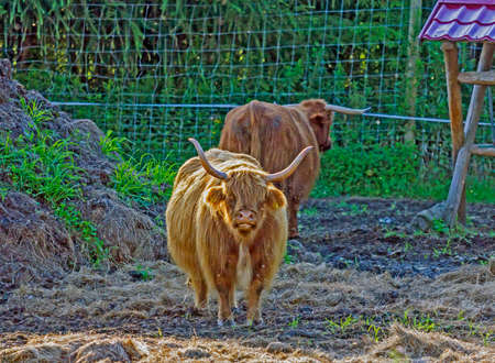 highland: scottish highland cow with big horns walking on gross,  stylized and filtered to resemble an oil painting Stock Photo