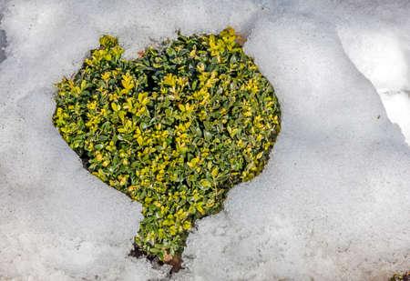 溶けるハートの形をした雪から突き出ている庭の観賞用の低木の緑の葉します。