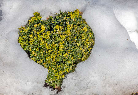 green leaves of ornamental shrub in the garden protruding from melting snow in the shape of a heart