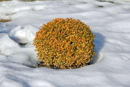明るいオレンジ色の庭で楕円形の装飾的な低木葉雪に囲まれて 写真素材 - 36901724