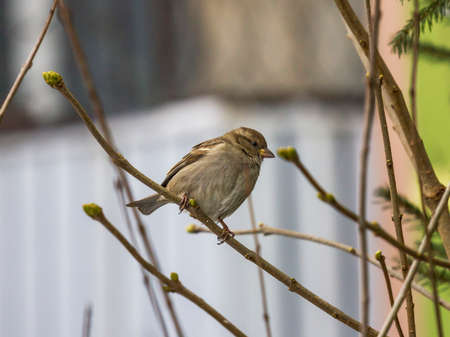 single sparrow sitting on leafless branch with new buds visible with blurred background Reklamní fotografie
