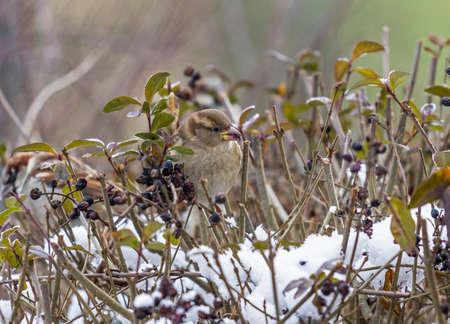 くちばしにまみれて果実と雪に覆われた木の枝の上に座って 1 つのスズメ