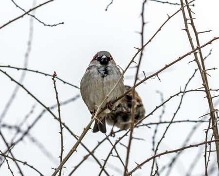 その腹を公開する、前部から見られる葉の棘のある枝の上に座ってスズメ