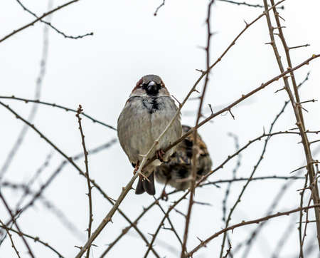 Sparrow sitting on leafless thorny branch, seen from the front, exposing its belly Reklamní fotografie