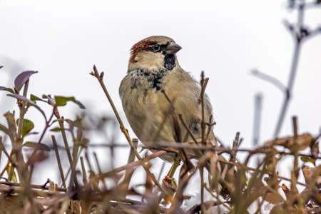 Close up photo of a sparrrow sitting on twigs with its fine details visible Reklamní fotografie