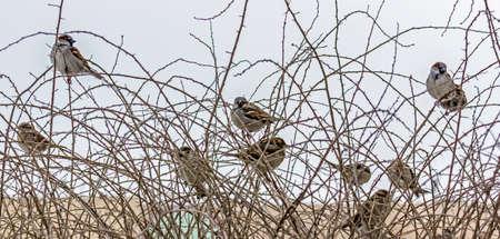 群れ冬のスズメは、葉のとげがある枝の上に座って、