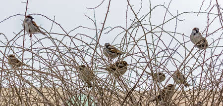 flock of sparrows sitting on leafless thorny branches, winter photo
