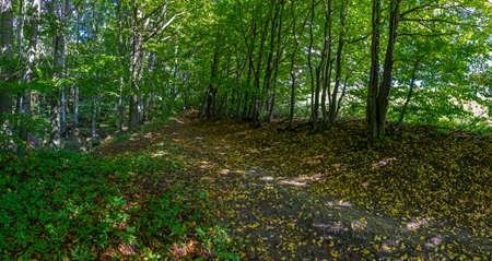 初秋 - 木、落ち葉と緑豊かな植物の森の小道のパノラマ写真