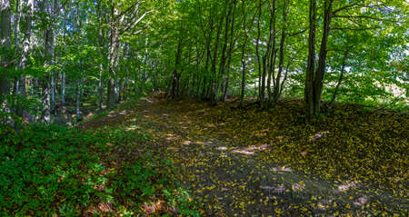 panoramic photo of forest path in early autumn - trees, fallen leaves and lush vegetation