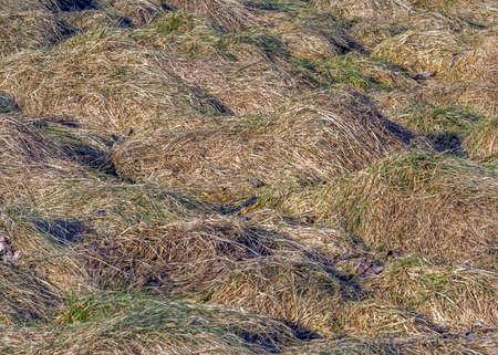 牧草地の草の表面、冬の後地球に曲がって 写真素材 - 36902023