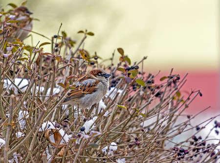 その口の中で雪が降って、雪に覆われた葉のない枝に座って 1 つのスズメ 写真素材