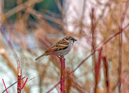 single sparrow sitting on a single vertical red twig with blurred background