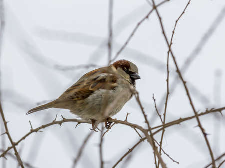single sparrow sitting on leafless thorny twig, seen from side