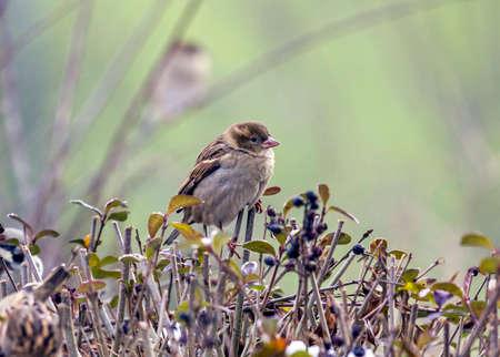 冬の生垣の上に座っている単一のスズメ